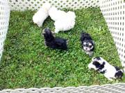 Yorkie puppies Ready To go For Free To any  Pet Loving Homes