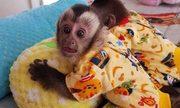 lovable  Capuchin marmoset Babies