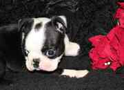 Toilet Trained Boston Terrier Puppies For Sale