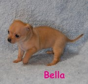 Cute Adorable chihuahua puppies for sale