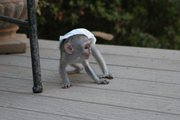 O8R Adorable Twin Pygmy Marmoset and Capuchin 07031957695