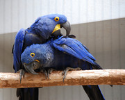 Free Pair Of Hyacinth Macaw Parrots For Give Away(totaly free )