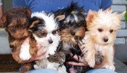 Free Top quality yorkshire terrier puppies ready