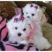 Excellent Male And Female Tea Cup Maltese Puppies for free to good hom