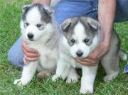 BLUE EYE SIBERIAN HUSKY PUPPIES AVAILABLE FOR RE-HOMING