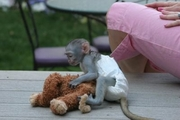 Adorable Baby Capuchin and Marmoset Monkeys for Adoption