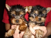 Tiny Akc Teacup Yorkie puppies for Adoption‏