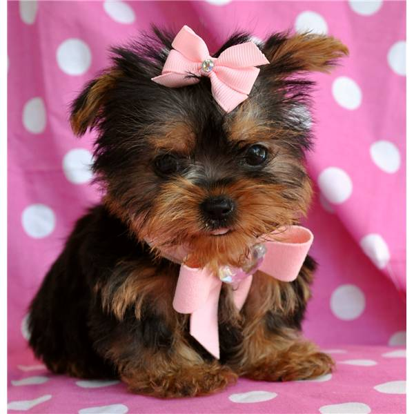 Two Cute Teacup Yorkie Puppies For Adoption Text 631-982