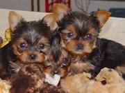 Two Cute teacup Yorkie Puppies for Adoption