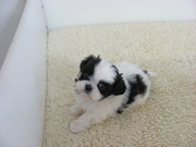 *** Shih tzu puppies ready ***