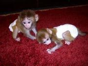 SJFKS Adorable Twin Pygmy Marmoset and Capuchin 07031957695